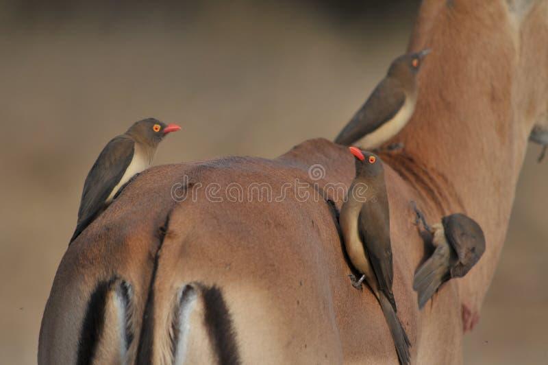 Oxpecker Rosso-fatturato (erythrorhynchus di Buphagus) fotografie stock