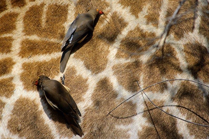 Oxpecker Rouge-Affiché image stock