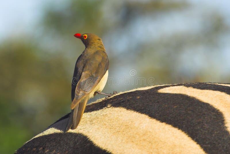Oxpecker Vermelho-faturado imagens de stock royalty free