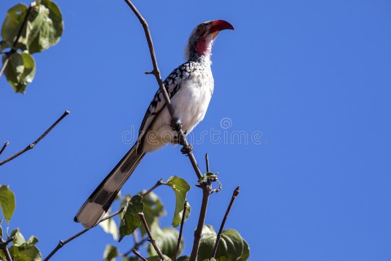 Oxpecker Vermelho-faturado, erythrorhynchus de Buphagus desaloja girafas do parasita, parque nacional de Chobe, Botswana imagem de stock royalty free