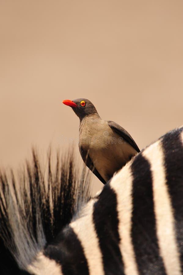 Oxpecker on Zebras back royalty free stock photography