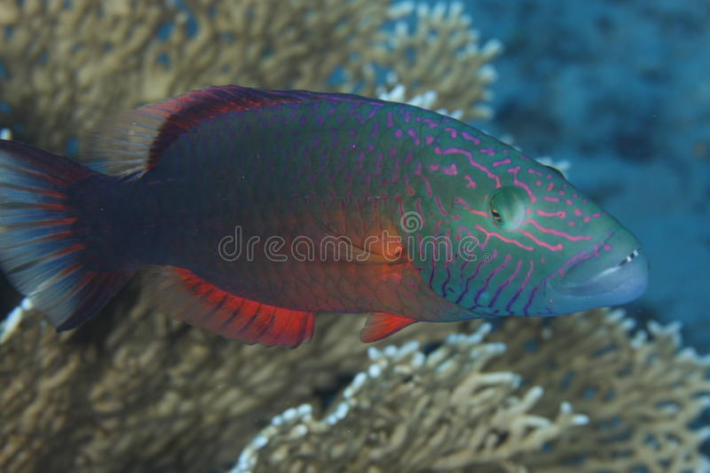 Oxycheilinus digramma - Red Sea royalty free stock photography