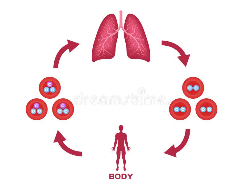 Oxygen and red blood cell , gas exchange vector . anatomy concept / lung and body. On white vector illustration