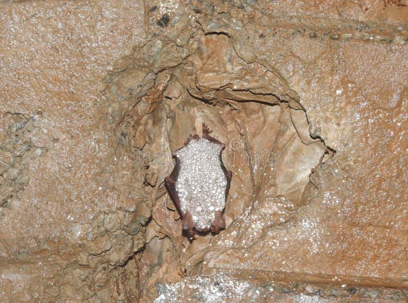 Oxygnathus blythii Myotis в спячке стоковое фото