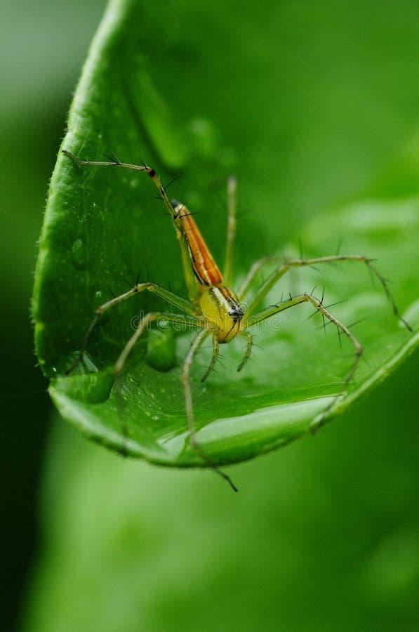 Oxyopes macilentus, chudy rysia pająk obraz stock
