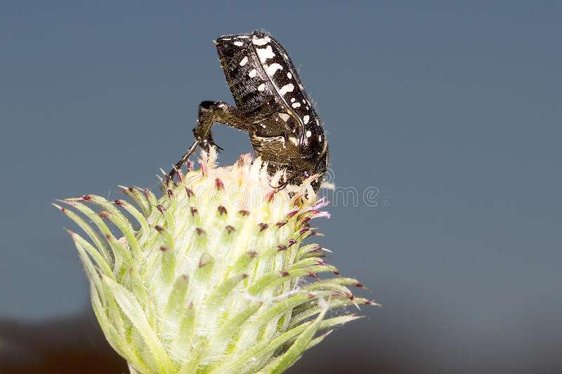 Download Oxythyrea Funesta / White-spotted Rose Beetle Stock Photo - Image: 25536838