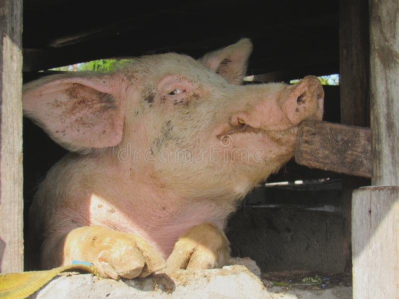 Oy oblicuo el mirar fijamente curioso del cerdo una ventana fotos de archivo libres de regalías
