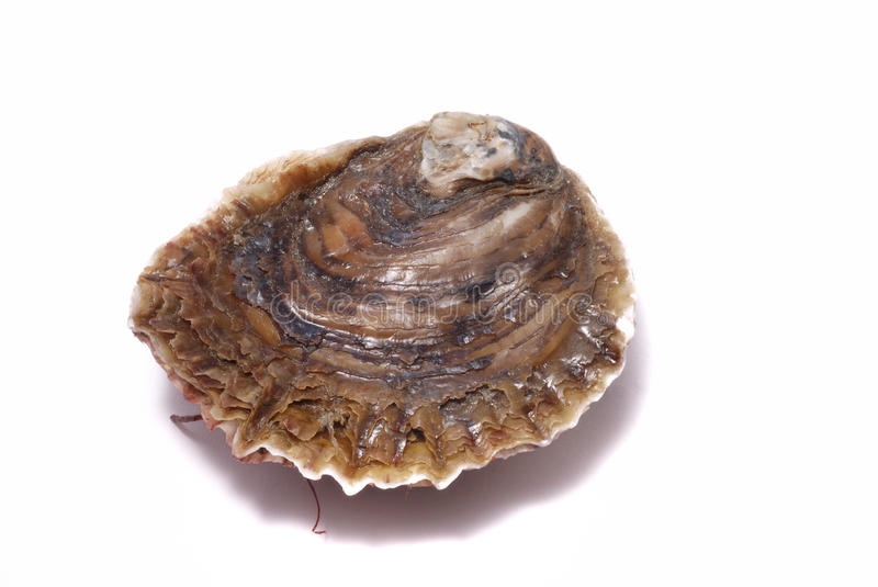 Oyster royalty free stock photo