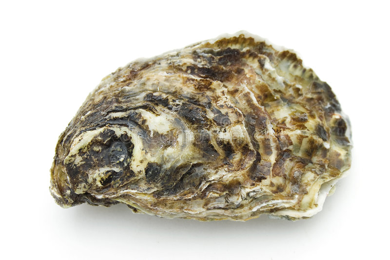 Oyster. On the white background