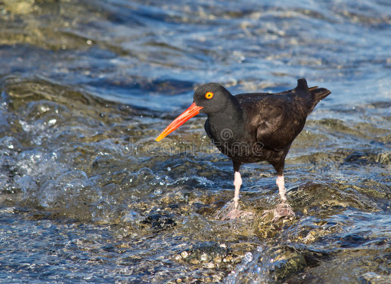 Download Oyster Catcher Bird Standing On Waves Stock Image - Image: 26486801