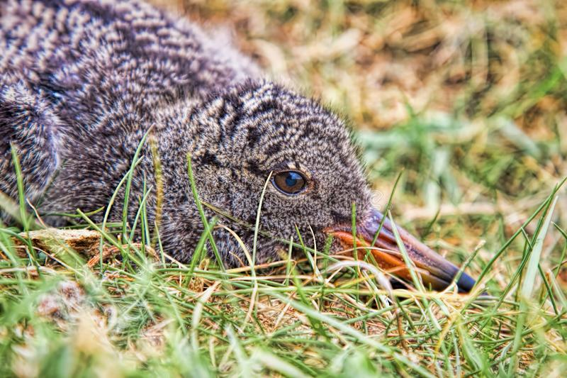 Oyster catcher chick lying in grass. Close up of an oyster catcher chick lying in grass, showing his face and plumage royalty free stock image