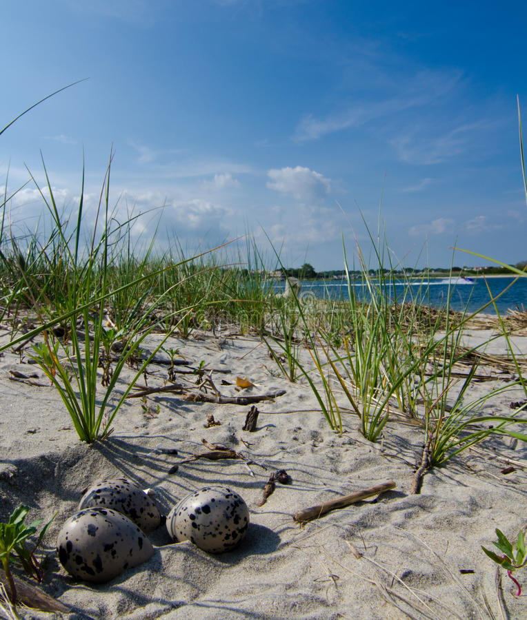 Download Oyster catcher eggs stock image. Image of protected, nest - 20402649