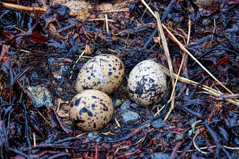 Oyster catcher nest built in seaweed. With three eggs royalty free stock images