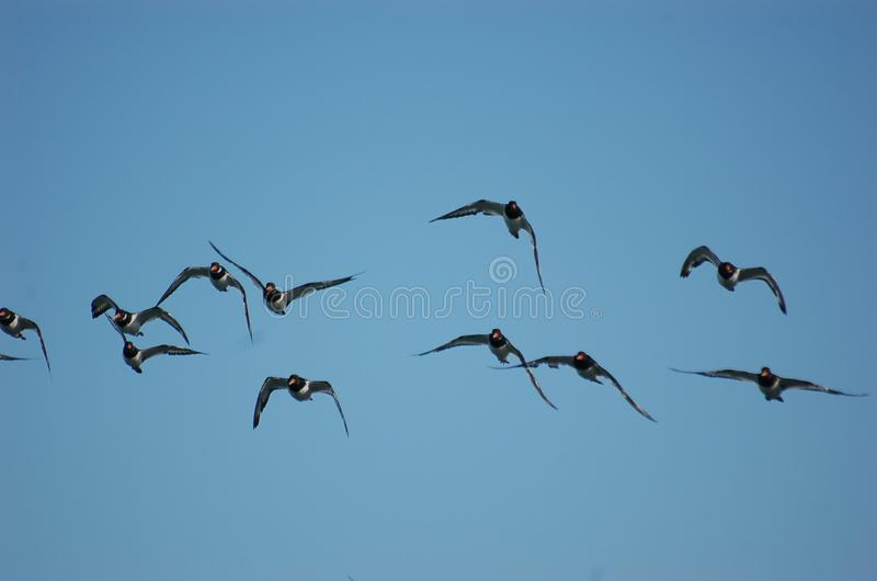 Oyster Catchers royalty free stock photography