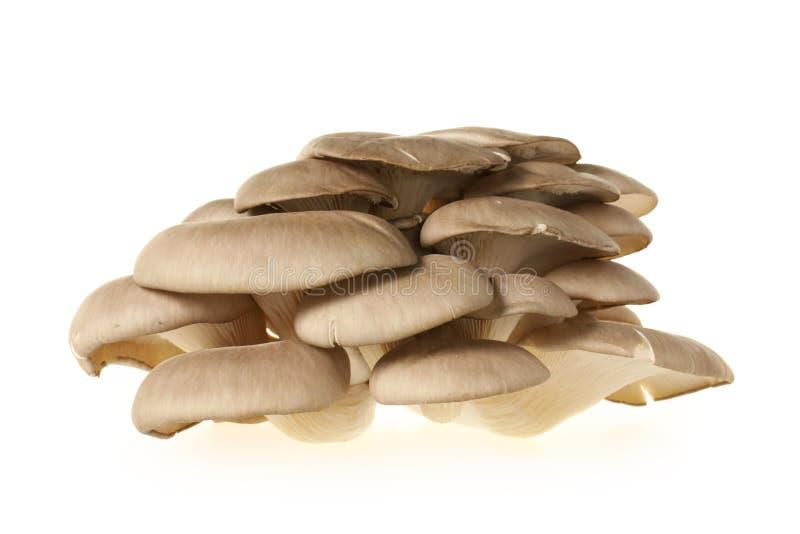 Oyster mushroom. On white background royalty free stock photos