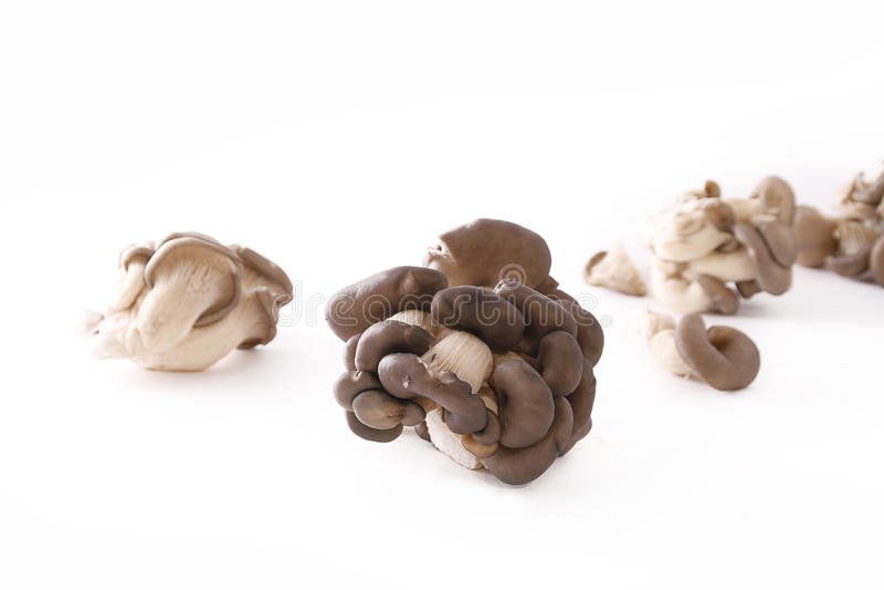 Oyster mushroom. Bunch of oyster mushroom, Pleurotus ostreatus royalty free stock photo