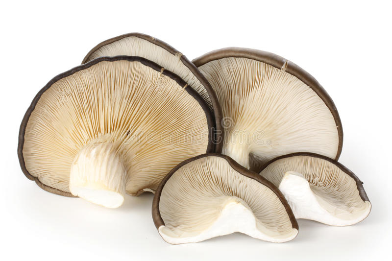 OYSTER MUSHROOM. The edible oyster mushroom, Pleurotus ostreatus, that is used in Japanese royalty free stock photography