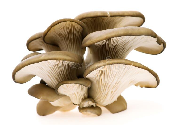 Oyster mushroom. Small grup of oyster mushroom royalty free stock image