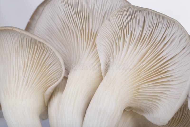 Oyster mushroom. Gills close-up in studio stock photo