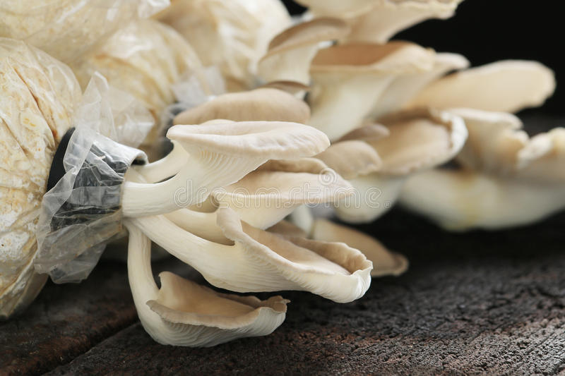Oyster mushroom. Grow from cultivation, wood background royalty free stock photography