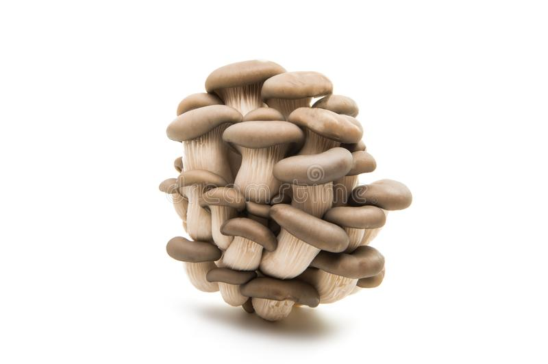 Oyster mushroom isolated. On white background stock images