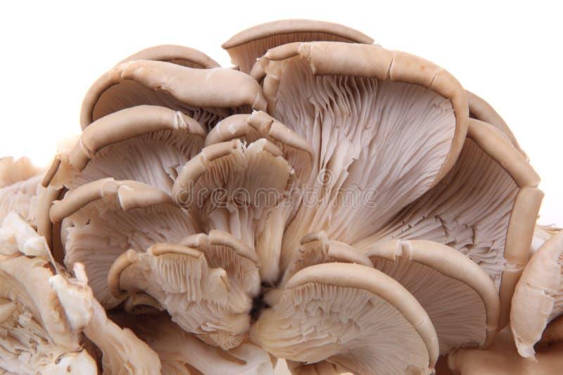 Oyster mushroom isolated. On the white background royalty free stock image