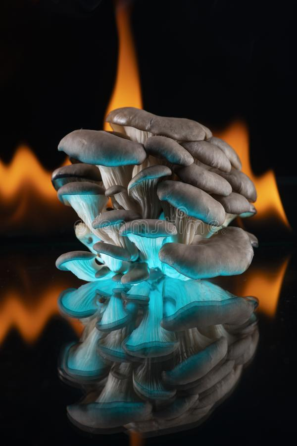 Oyster mushroom mushrooms on a mirror on the flames of fire highlighted below in blue. Black background. Food, cooking, cooking,. Organic. Closeup stock images