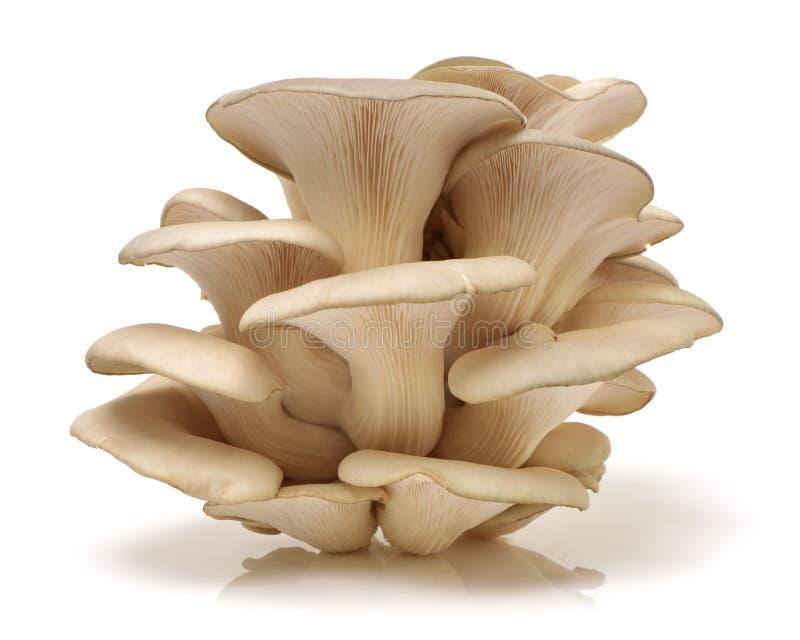 Oyster mushroom. Isolated on white background stock images