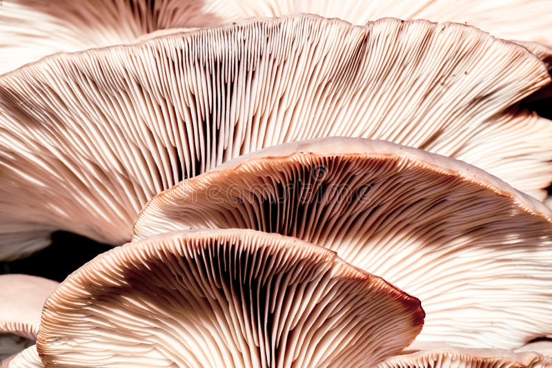 Oyster mushroom. Wild winter forest tree mushroom in the woods of Bavaria in Germany. Picture of the fungi with lovely bokeh was taken on a warm January day royalty free stock image