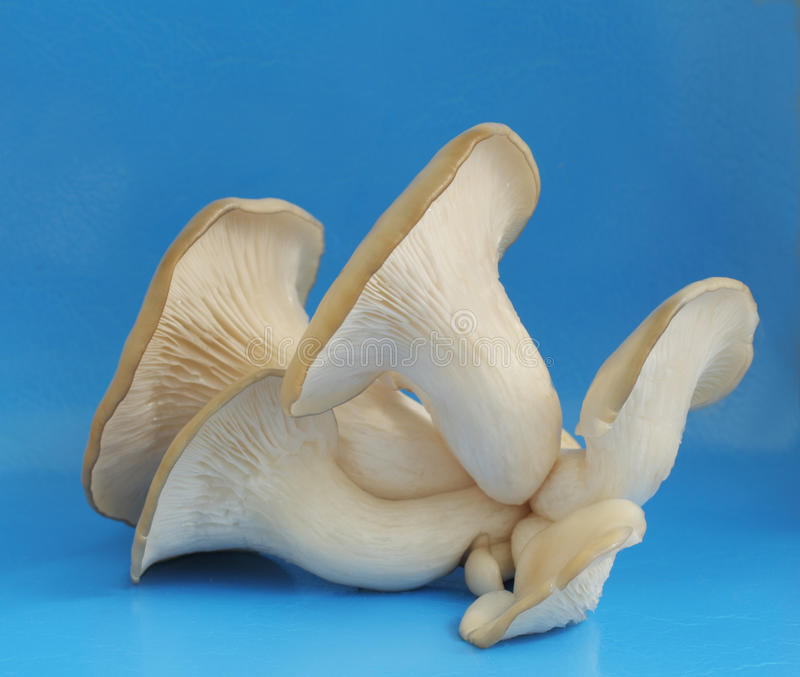 Oyster mushrooms on a blue background royalty free stock image