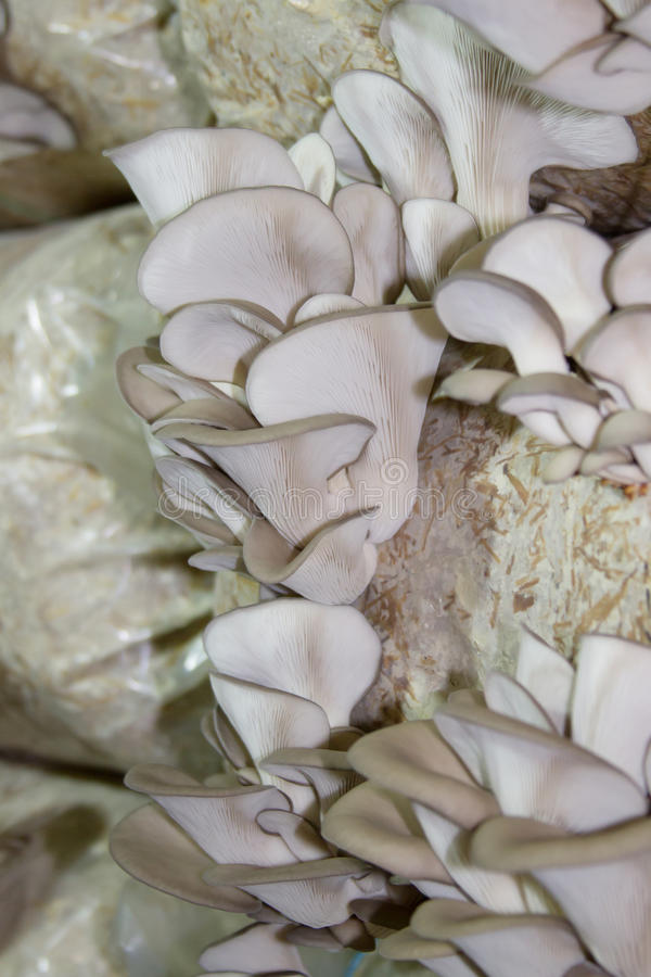 Oyster mushrooms cultivation. On the plastic bag with mycelium royalty free stock image