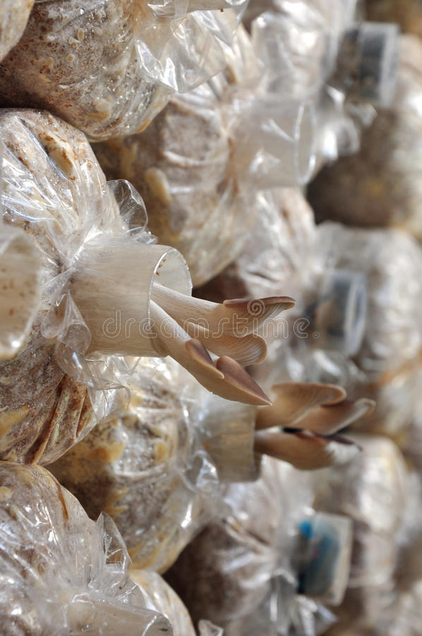 Oyster mushrooms in growing bag stock photography