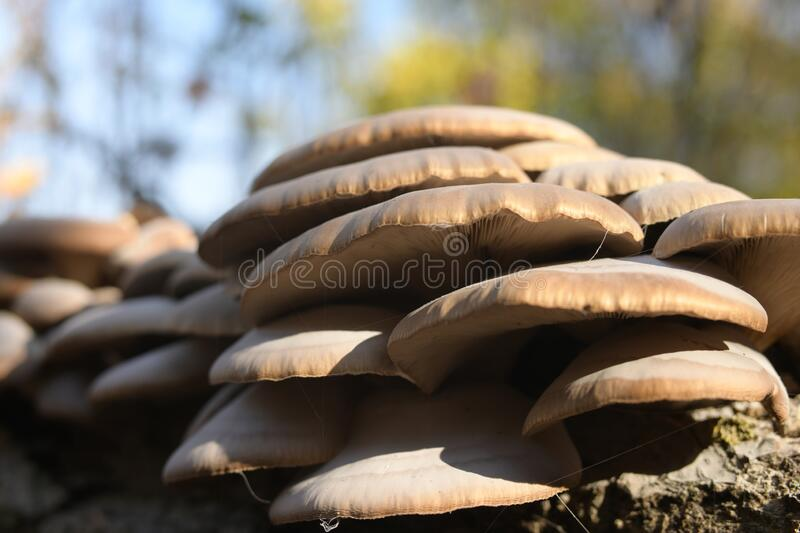 Oyster mushrooms growing on an old log in the forest on the Bank of the Volga river. stock images
