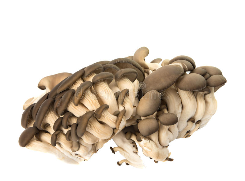 Oyster mushrooms isolated. On white background royalty free stock images