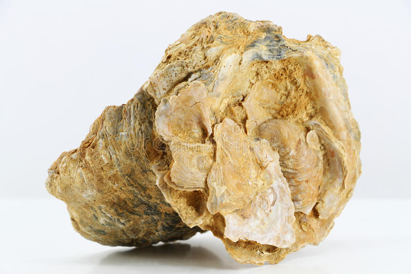 Oyster shell fossil. An overall view of the outer side of a fossil oyster shell, with others smaller shells growing upon it, landscape cut stock images