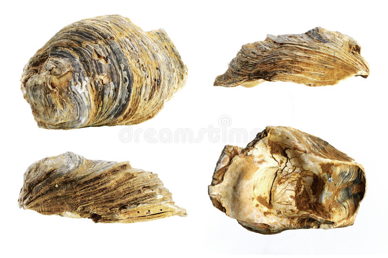 Oyster shell fossil, white background stock photography