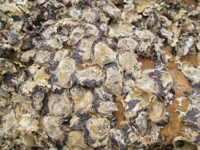 Oyster Shells on Rock royalty free stock image
