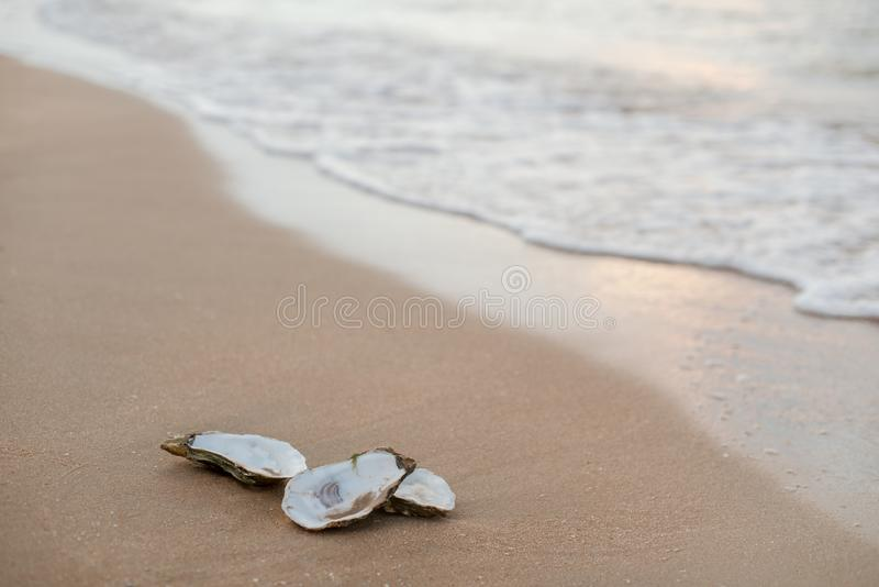 Oyster shells on the surf line with sand on the sea beach, as a concept of summer holidays, sea resort, spa. Picturesque oyster shells in the soft sunset light royalty free stock photos