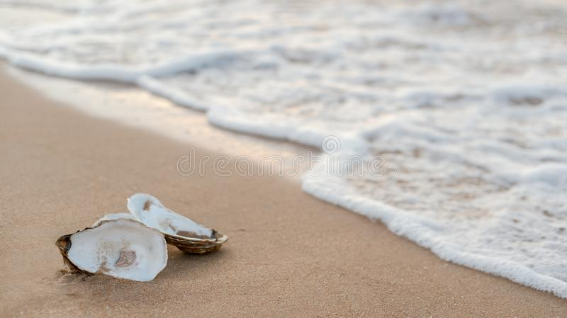 Oyster shells on the surf line with sand on the sea beach, as a concept of summer holidays, sea resort, spa. Picturesque oyster shells in the soft sunset light royalty free stock images