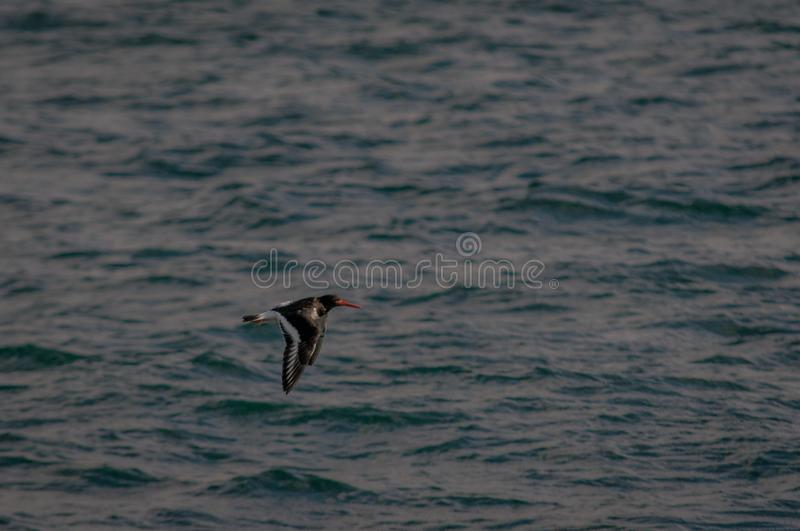 Oystercatcher Flying Low Over Sea Water stock images