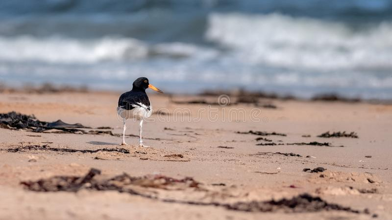 Oystercatcher standing on a sandy beach royalty free stock image