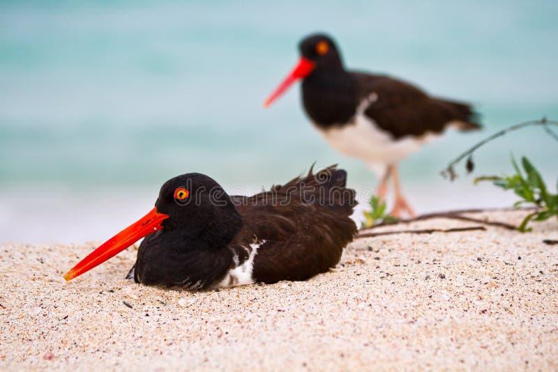 Oystercathcher滨鸟在加拉帕戈斯群岛 免版税库存照片