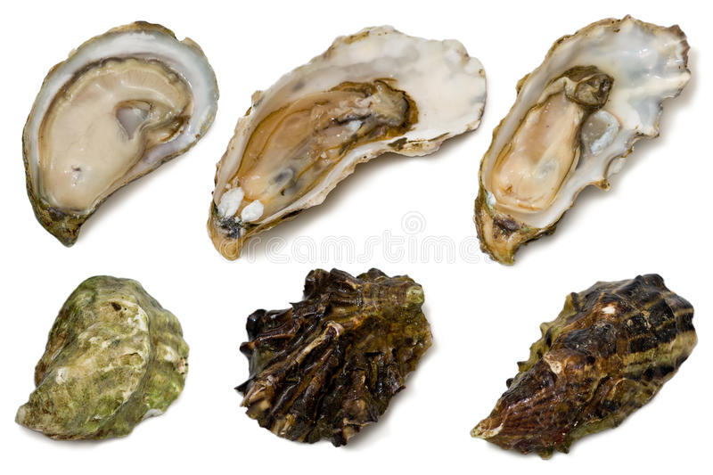 Download Oysters stock photo. Image of white, food, oyster, mollusk - 17775762