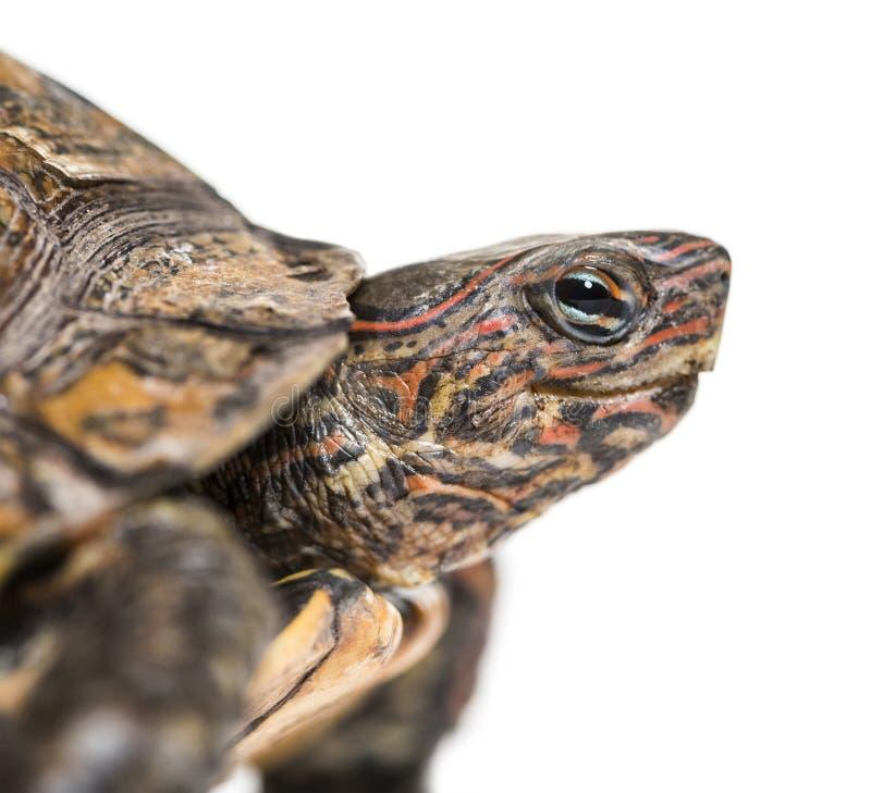 Ozdobny lub malujący drewniany żółw, Rhinoclemmys pulcherrima obraz royalty free
