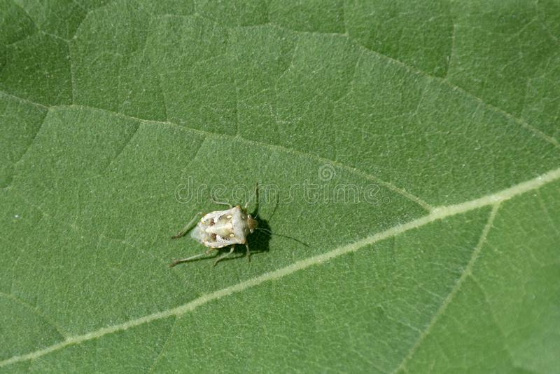 Ozdobny osłony pluskwy Chroantha ornatula zdjęcie royalty free