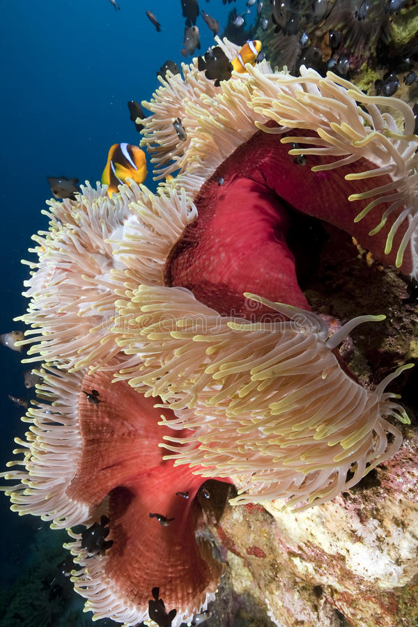 Ozean, Koralle und Anemone lizenzfreies stockbild