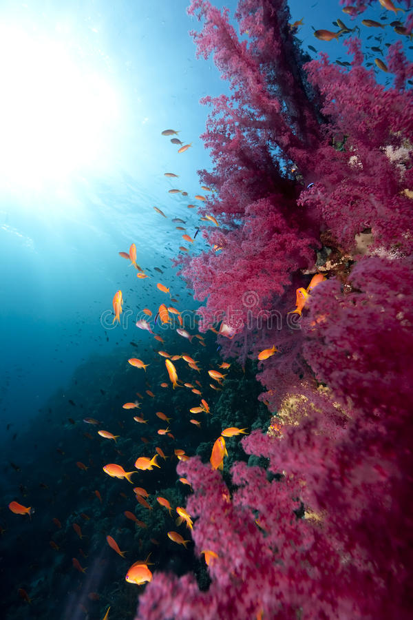 Download Ozean, Koralle und Fische stockfoto. Bild von dunkel - 12200362