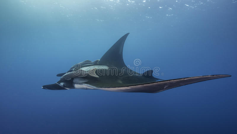 Ozeanischer Manta Ray Underwater stockfoto
