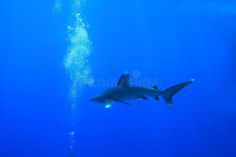 Ozeanischer whitetip Haifisch lizenzfreie stockbilder