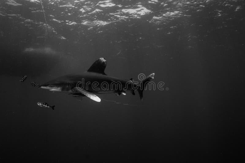 Ozeanischer whitetip Haifisch im Roten Meer stockfotos
